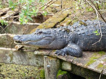 Miami-Everglades-Alligator-13