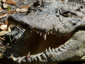 Miami-Everglades-Alligator-4