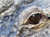 Miami-Everglades-Alligator-6