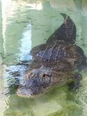 Miami-Everglades-Alligator-8