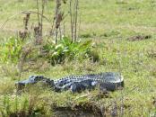 Miami-Everglades-Alligator-9
