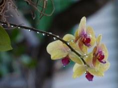 Key_West-Orchidee