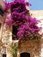 Ibiza-Altstadt-Bougainvillea-1