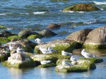 visby-strandpromenade-moewen-2