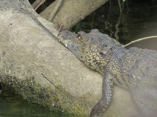belize-bootsfahrt-belize_river-krokodil-2