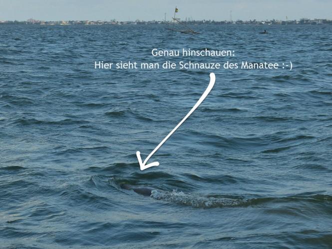belize-bootsfahrt-belize_river-manatee-1