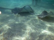 grand_cayman-stingray_city-rochen-8