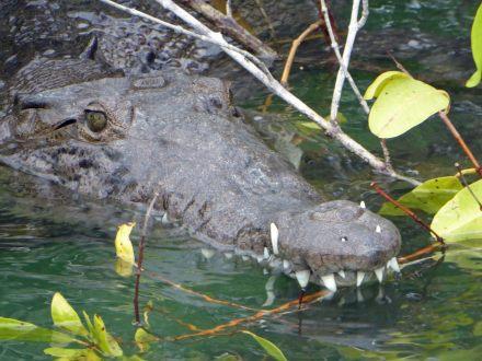 Jamaika-Black_River-Safari-Krokodil-3