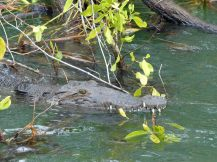 Jamaika-Black_River-Safari-Krokodil-4