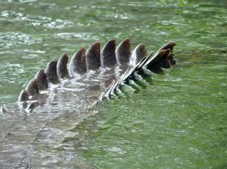 Jamaika-Black_River-Safari-Krokodil-6