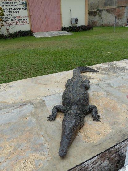 Jamaika-Black_River-Safari-Krokodil-7