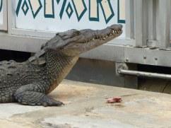 Jamaika-Black_River-Safari-Krokodil-9