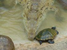Jamaika-Black_River-Safari-Krokodil_Nursery-1