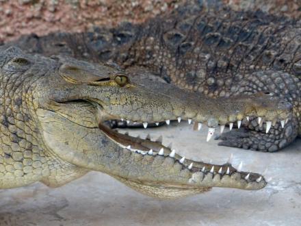 Jamaika-Black_River-Safari-Krokodil_Nursery-3