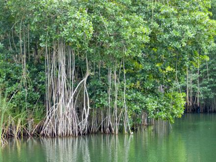 Jamaika-Black_River-Safari-Mangroven-Wald-1
