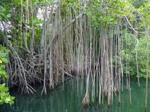 Jamaika-Black_River-Safari-Mangroven-Wald-2