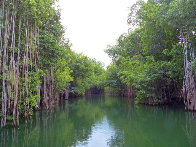 Jamaika-Black_River-Safari-Mangroven-Wald-3