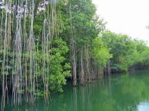 Jamaika-Black_River-Safari-Mangroven-Wald-4
