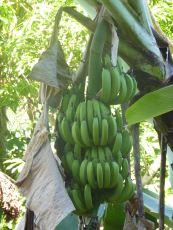 Jamaika-Cool_Jellyman-Banane-1