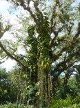 Jamaika-YS_Wasserfaelle-Baum-Park