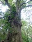 Karibik-St_Kitts-Plantage_Wingfield-Dschungel-2