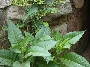 Tabakpflanze