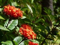 Karibik-St_Kitts-Romney_Manor-Botanischer_Garten-Blume-1