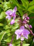 Karibik-St_Kitts-Romney_Manor-Botanischer_Garten-Blume-5
