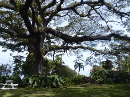 Karibik-St_Kitts-Romney_Manor-Saman_Baum-1