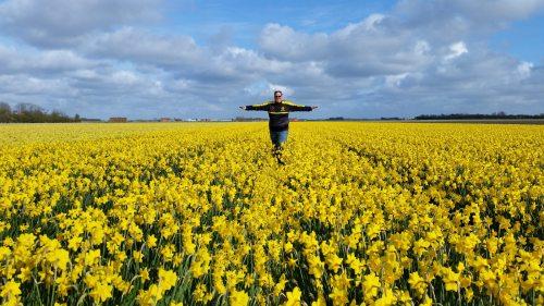 Texel-Narzissenfeld-gelb-wir-5