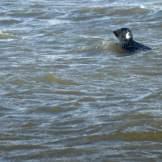 Texel-Oudeschild-Seehundfahrt-Seehund-2