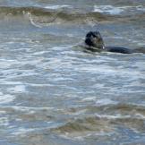 Texel-Oudeschild-Seehundfahrt-Seehund-3