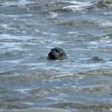 Texel-Oudeschild-Seehundfahrt-Seehund-4