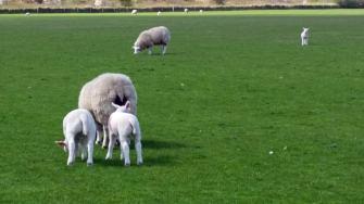Texel-Schafe-1