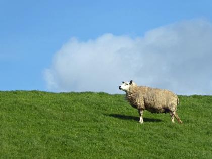 Texel-Schafe-3