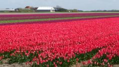 Texel-Tulpenfeld-rot-1