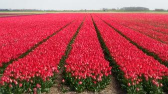 Texel-Tulpenfeld-rot-2