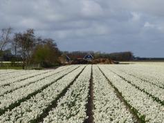 Texel-Tulpenfeld-weiss-1