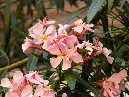 Italien-La_Spezia-Oleander-1