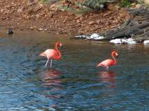 Bonaire-Gotomeer-Flamingo-1