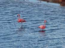 Bonaire-Gotomeer-Flamingo-4