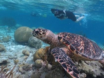 Bonaire-Schnorcheln-Unterwasserwelt-Schildkroete-1