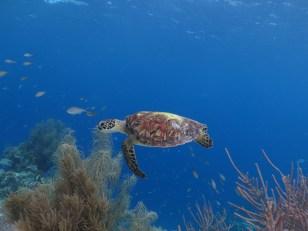 Bonaire-Schnorcheln-Unterwasserwelt-Schildkroete-4