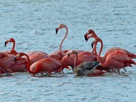 Curacao-Flamingos-5