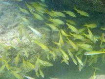 Curacao-Mamboo_Beach-Schnorcheln-Fische-3