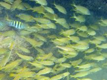 Curacao-Mamboo_Beach-Schnorcheln-Fische-4
