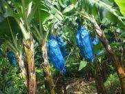 Grenada-Bananen-Tuete-1