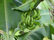 Grenada-Bananenstaude-1