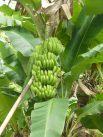 Grenada-Bananenstaude-2