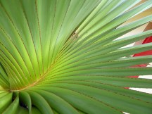 La_Reunion-Pflanze-Palmenblatt-1